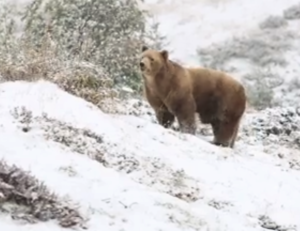 bear and snow
