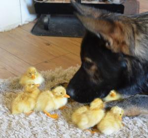 thorin baby ducks