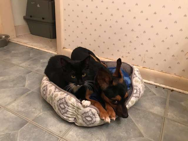 Chihuahua Gets Adopted with Kitten he Protected and Bonded with