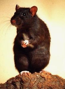 rat pinterest