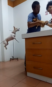 tiny dog jumping