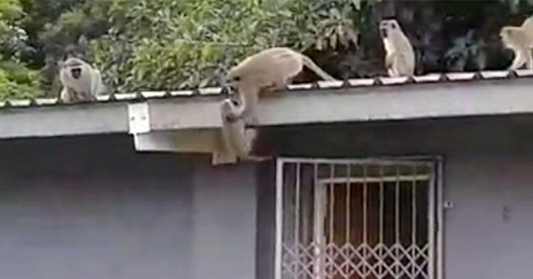 monkey reunion