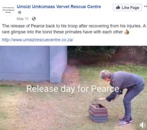 pearce-vervet-monkey