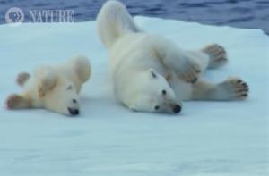 polar-bears-rolling