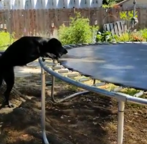 dog-and-trampoline