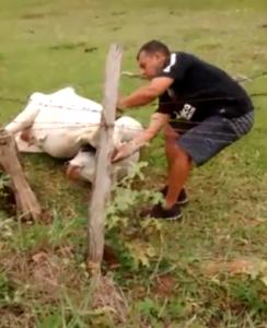 man-untwists-cow
