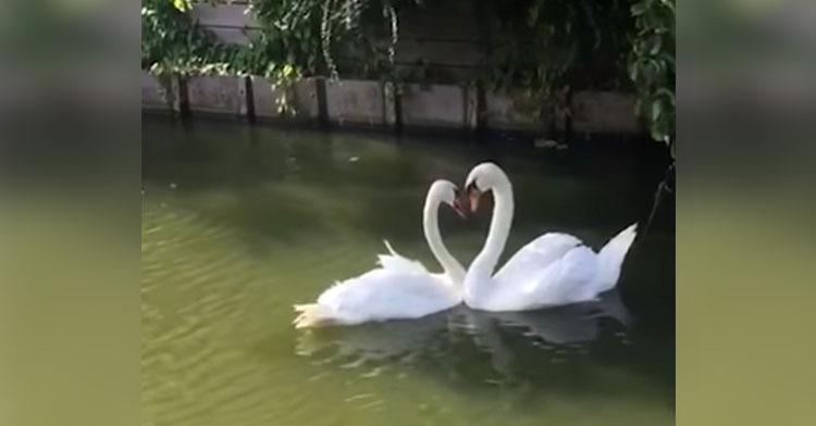 swan reunion