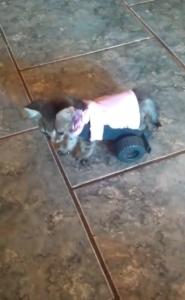 kitten tries out wheelchair