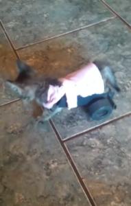 kitten on wheels