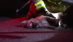 firefighter performs cpr on dicky