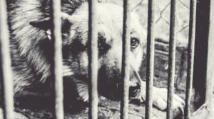 herschel caged