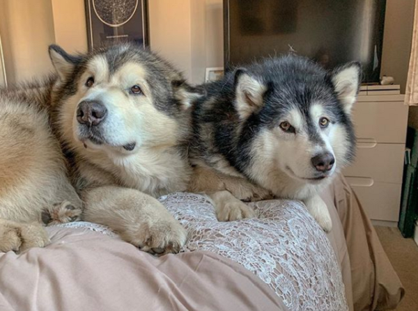 Malamute Dogs Sniff Out Their Grandmother Inspiremore Share a gif and browse these related gif searches. malamute dogs sniff out their