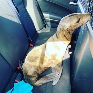 cop rescues baby sea lion
