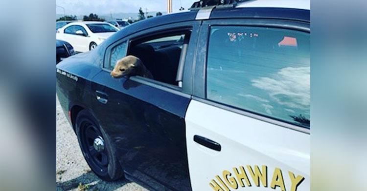 sea lion in cop car