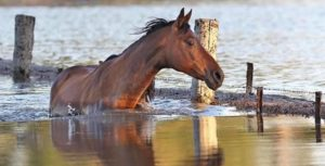 horse oklahoma flood