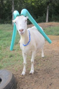 naughty goat pool noodle