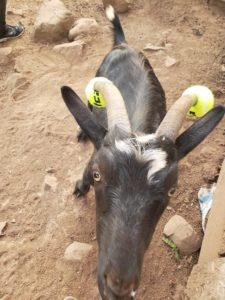 naughty goat tennis balls