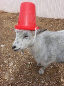 naughty goat bucket