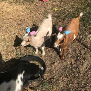 naughty goats kong toys