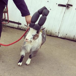 goat padded horns