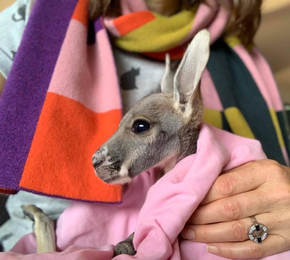 sasha baby kangaroo
