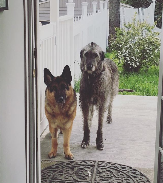 german shepherd and irish wolfhound