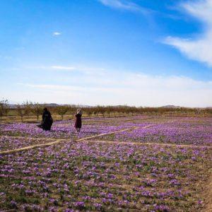 saffron field afghanistan