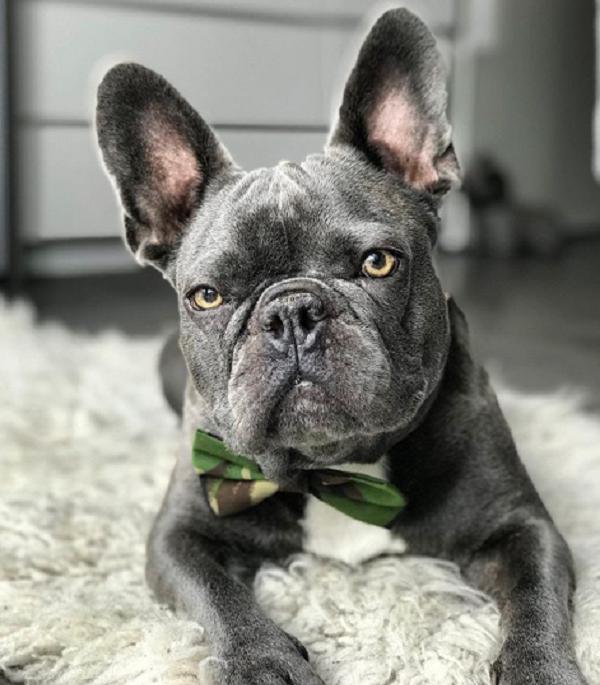 jude bulldog