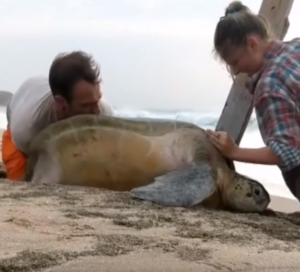 sea turtle rescue oman