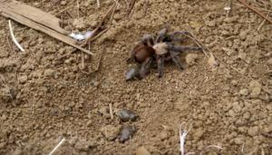 tarantula and frogs