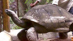 Adwaita giant tortoise