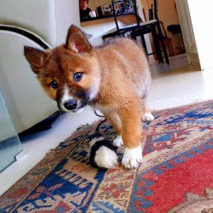 wandi the dingo