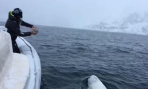 beluga whale plays fetch
