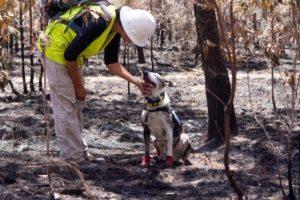 bear the koala detecting dog