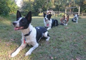detection dogs for conservation