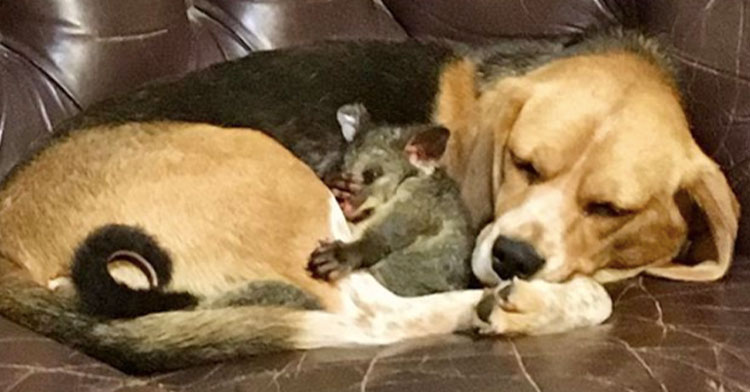 "Beagle ""Adopts"" Abandoned Baby Possum After Losing Her Own Puppies."
