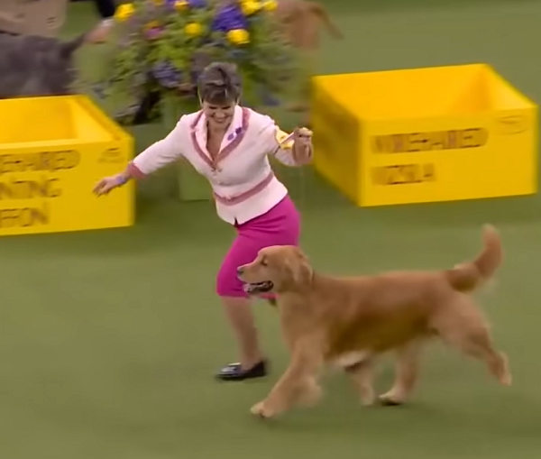 Daniel The Golden Retriever Steals Internet's Heart During Westminster Dog Show.