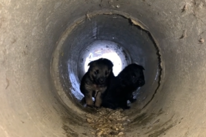 puppies in pipe