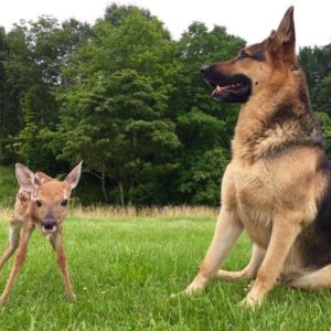 sarge with fawn