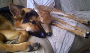 sarge cuddles fawn