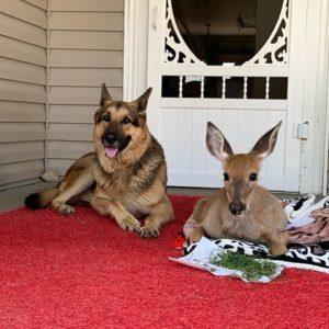 sarge with deer