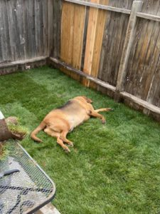 bentley lies on grass