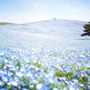 nemophila flowers