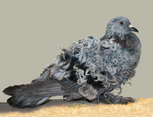 blue bar frillback pigeon