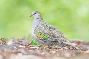 common bronzewing pigeon