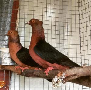 english barb pigeons