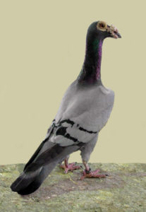 english carrier pigeon