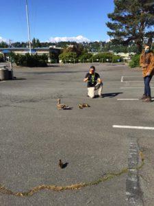 ballard mallard duckling drop