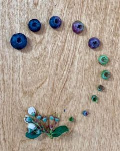 blueberry life cycle