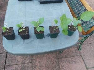 aubergine plant life cycle